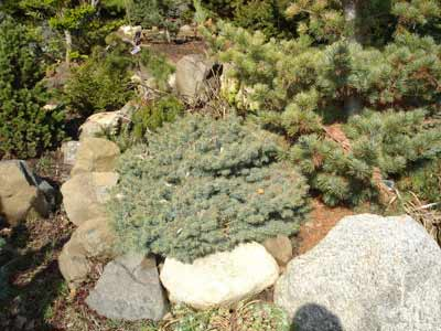 Picea-Pungens With Rocks